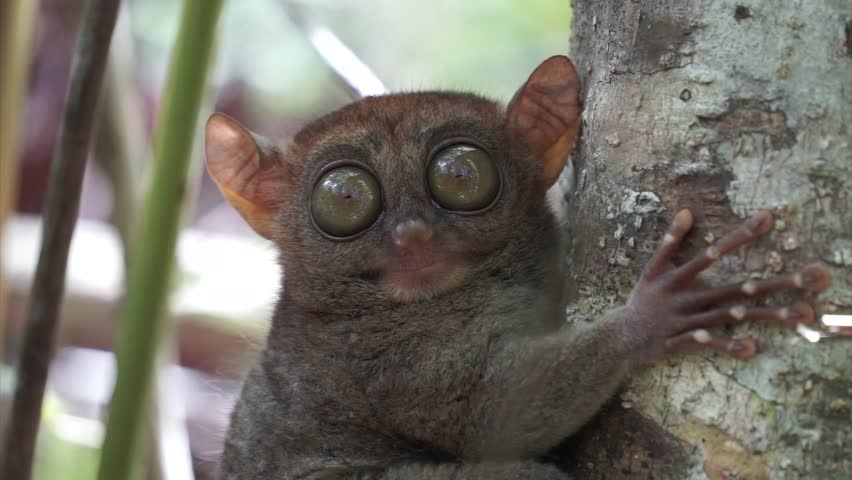 Footage of the Philippine Tarsier taken in Bohol. The animal is clinging to a branch while it observes the world around him. Known locally as mawmag in Cebuano / Visayan.