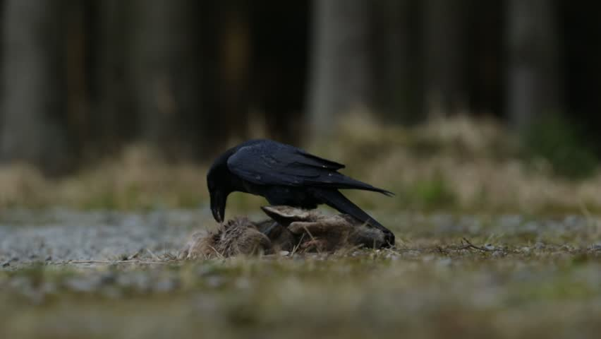 Black bird raven with dead red deer, carcass, sitting on the stone road