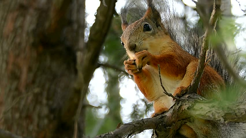 Squirrel on the tree gnawing on a nut, summer, Park. Close up, view of the animal. - HD stock footage clip