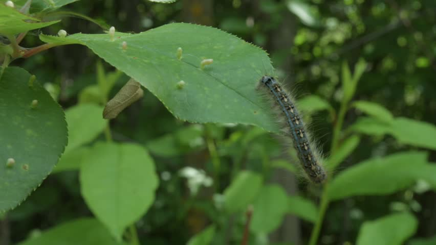 Caterpillar on a leaf - HD stock footage clip