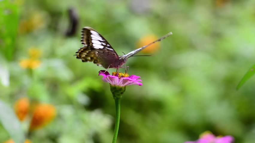 butterfly eating pollen on a flower - HD stock video clip