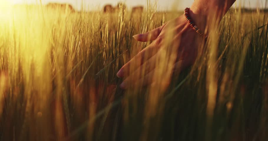 Close-up of woman's hand running through wheat field, dolly shot. Slow motion 120 fps. Filmed in 4K DCi resolution. Girl's hand touching wheat ears closeup. Sun lens flare.  Good harvest concept.  | Shutterstock HD Video #10307342