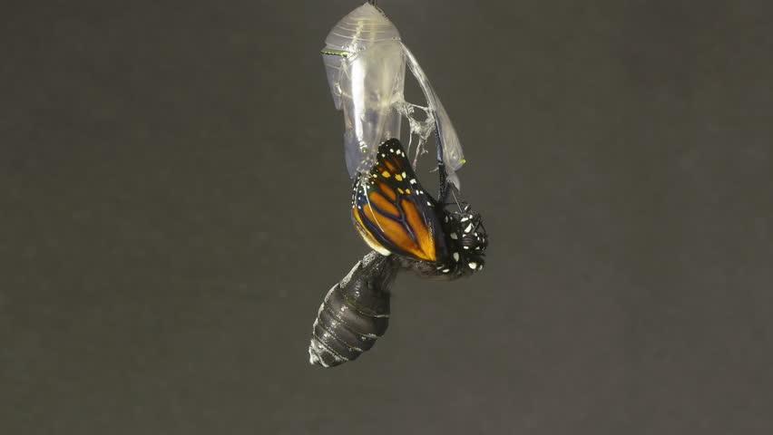 Monarch Butterfly Emerging from Chrysalis Speed Up. 4k | Shutterstock HD Video #10344278