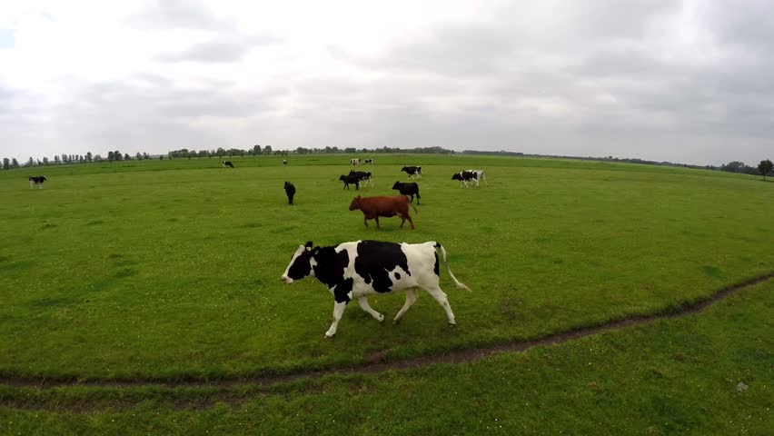 Drone flying along side running black and white Holstein milk cows on green grass field 4k very high resolution aerial recording fist person helicopter bird eye view running cows on farm grass land | Shutterstock HD Video #10353224
