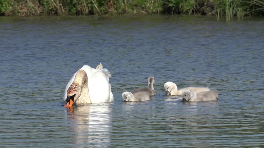 swan with ducklings swimming in the lake and search feed - 4K stock footage clip