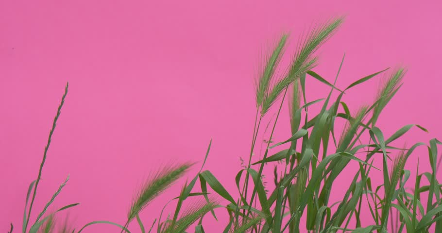 OPOLE/POLAND - JUN 08 2015: Wheat Green Leaves And Stalks Chroma Key Wavering Flowers, Peonies And Milfoils,Green Leaves And Stalks, Wavering on the Wind, bright green background, Chromakey Chroma | Shutterstock HD Video #10510175