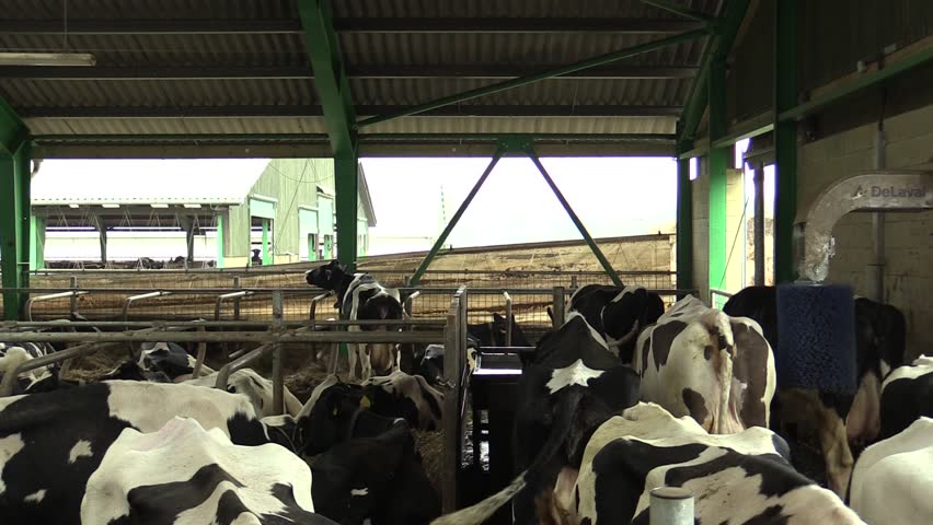 Dairy cows relax in a barn, South Moravia, Czech Republic, Europe - HD stock footage clip