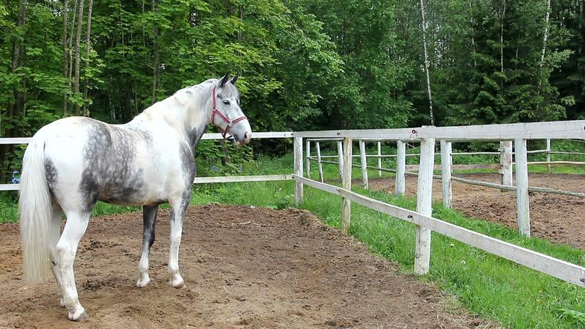 "Thoroughbred horse. Orlovsky great Trotter. Racehorse, color: white dapple, gray, light gray, gray dapple. The Leningrad region, city Toksovo, Equestrian club ""Zubrovnik"". Sporting a beautiful horse. - HD stock video clip"