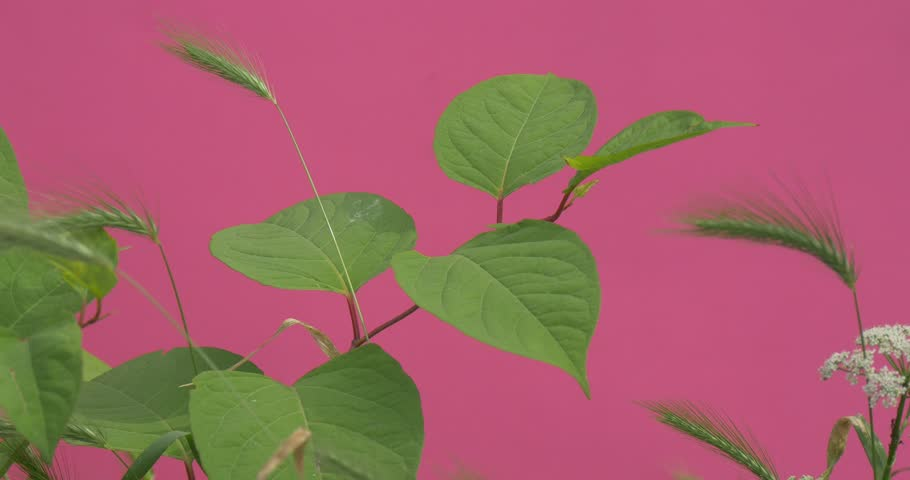 Wind in Green Leaves, Spicas, Aperas, White Umbelliferae Flowers,pink background,chromakey, Chroma Key, Alfa, studio, outdoor,summer, day