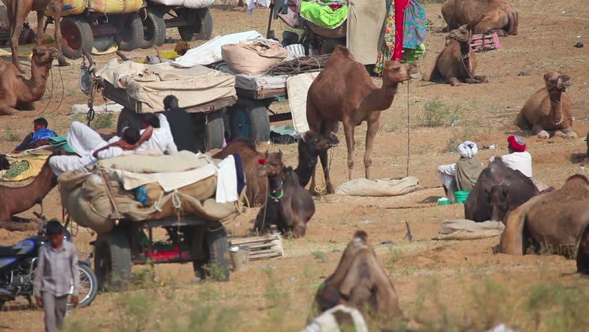 PUSHKAR, INDIA - NOVEMBER 21, 2012: Camels at the Pushkar Camel Fair, on Nov.21, 2012, Pushkar, Rajasthan, India. - HD stock footage clip