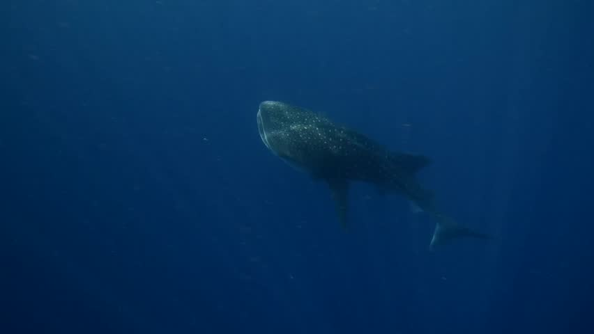 Cinematic Whale Shark Swimming Up.mov - HD stock video clip