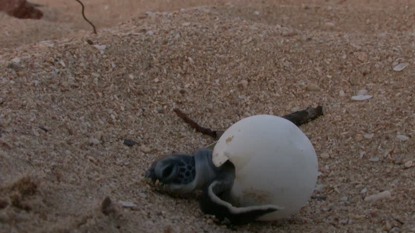 New Green Turtle Hatchling Struggling Out of Shell - HD stock footage clip