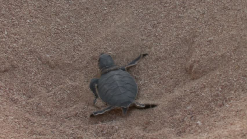 New Green Turtle Hatchling Struggling Along the Sand Beach - HD stock footage clip