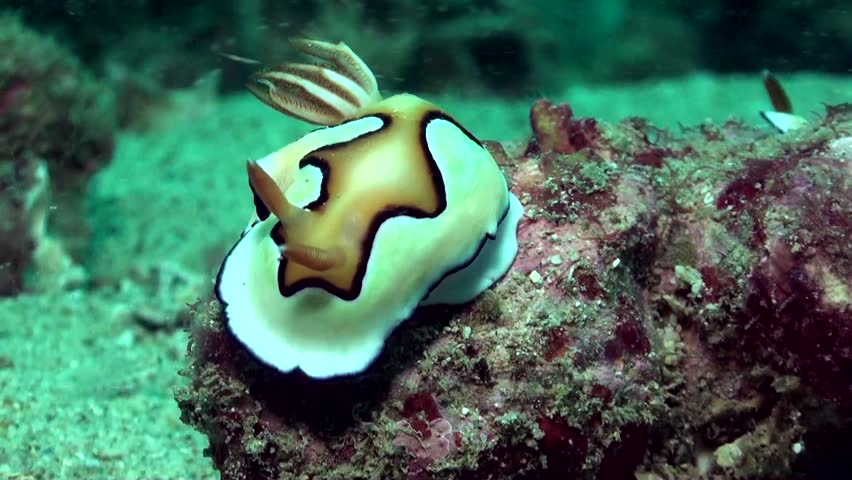 Zooming out of close-up on beautiful chromodoris nudibranch - HD stock footage clip