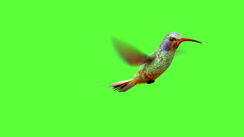 Humming bird on white and black backgrounds with an alpha matte, 3d animation
