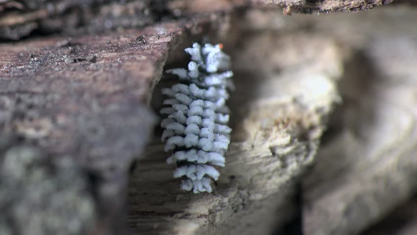 White Larva mealybug climbs the tree, an insect pest, macro, Central Europe, 2015 South Ukraine, Superfamily: Coccoidea, Family:Pseudococcidae | Shutterstock HD Video #10750187
