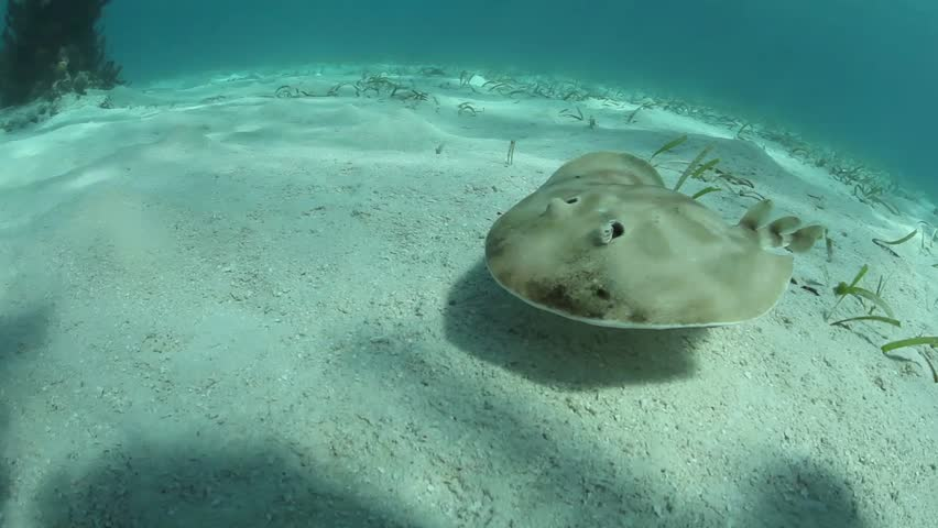 A Lesser electric ray (Narcine bancroftii) is seen on a sand and seagrass seafloor in Turneffe Atoll, Belize. This species can generate a strong electric discharge used for defense or to stun prey. - HD stock video clip
