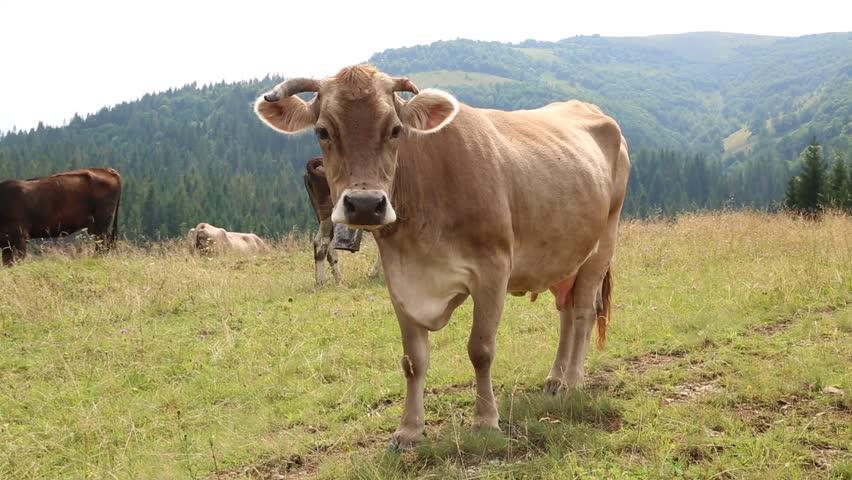 Milk cow on the grassland - HD stock video clip