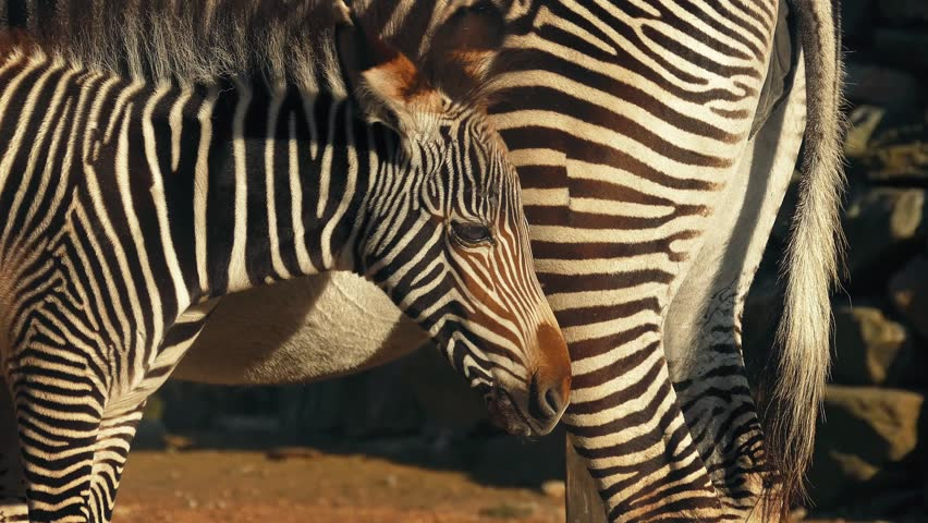 Zebra Foal By Its Mother