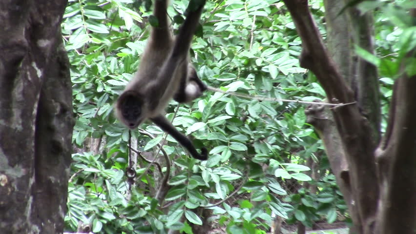 Spider Monkeys Play In A Tree. Stock Footage Video 6047696 ...