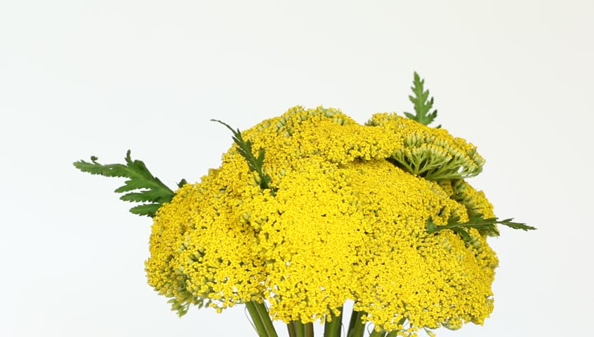 Header of Achillea filipendulina