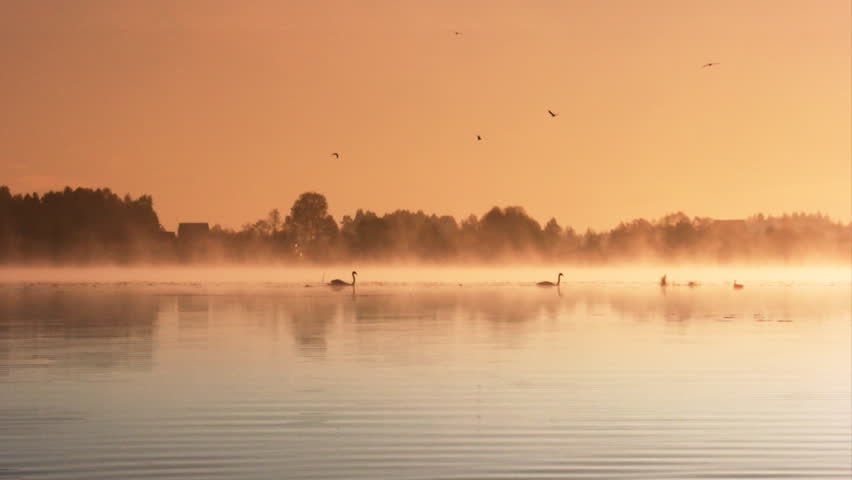 Pair of swans floating on the morning sunrise  - HD stock footage clip
