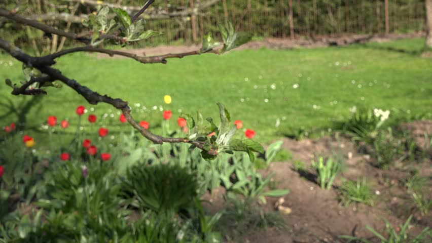 Closeup of unfolding apple fruit tree branch leaves and colorful tulip flower bed in spring season garden. Focus change shot. 4K UHD video clip.