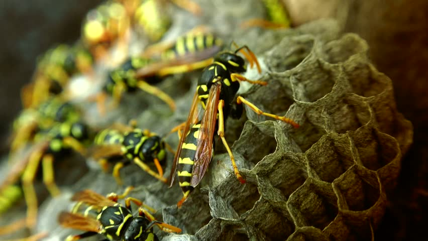 ULTRA HD 4K, real time shot close up of The European hornet (Vespa crabro) is the largest eusocial wasp in Europe and the largest vespine in North America. #10967699