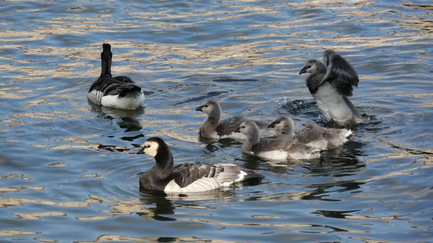 canada goose romania
