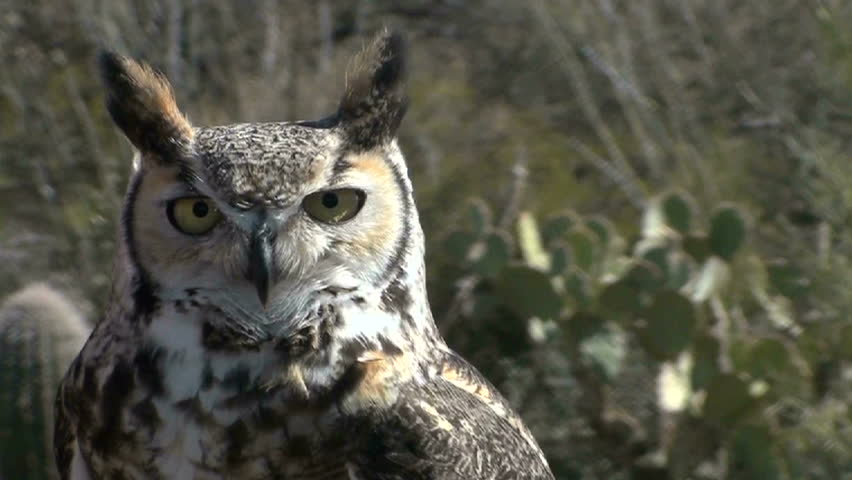 hd great horned owl - photo #18