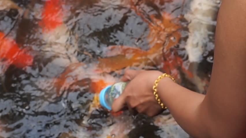 Feeding koi fish with milk bottle in farm stock footage for Feeding koi fish