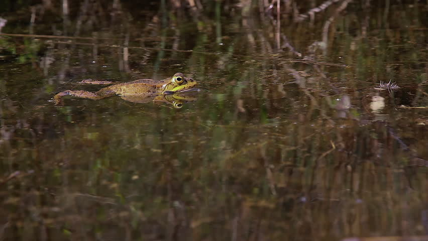 Frog croaking, inflating the bag mouth and expelling urine excretions in a pond - HD stock video clip