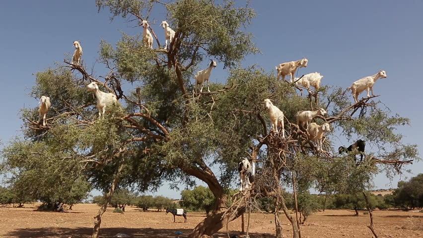 Goats climb the Argan tree and eat Argan nut, Morocco