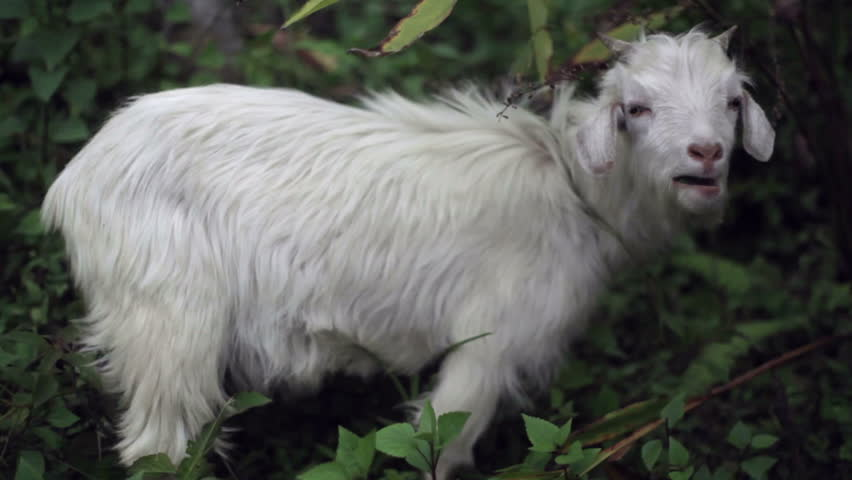 Hairy tied up goat, medium shot - HD stock video clip