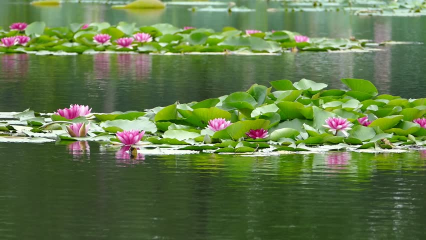 Water lily which blooms in midsummer of pond / August 9, 2015 in Japan of the shooting in Hokkaido / Hot summer day, shooting a pond water lily flowers and buds are clumps. | Shutterstock HD Video #11144846