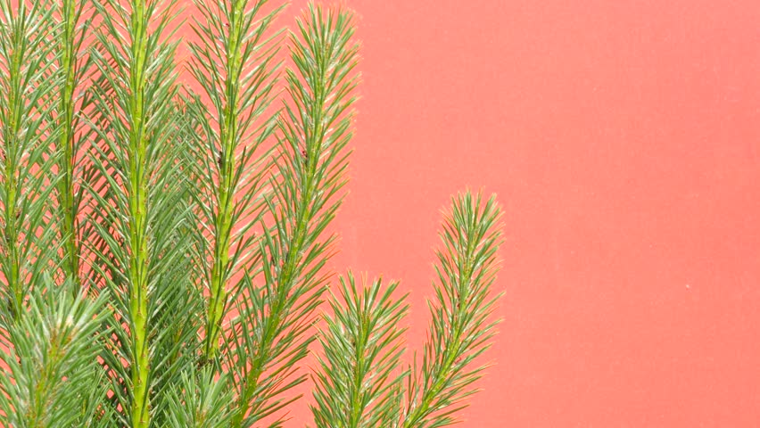 Pine Branches, Swaying branches, Swaying Pine Tree, Needles, branches, grass, stalks, leaves on Red Background, Chromakey, Chroma Key, Alfa, summer, sunny, daytime, outdoors, studio #11193743