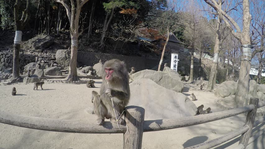 Monkeys At Zoo, Oita, Japan Stock Footage Video 8461666 - Shutterstock