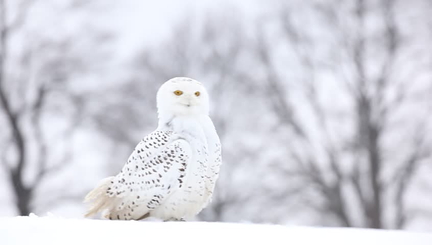 White bird snowy owl sitting on the snow, winter scene with snowflakes and trees in background