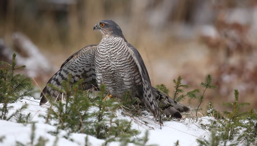 Birds of prey Eurasian sparrowhawk, Accipiter nisus, sitting on snow in the forest with catch little songbird