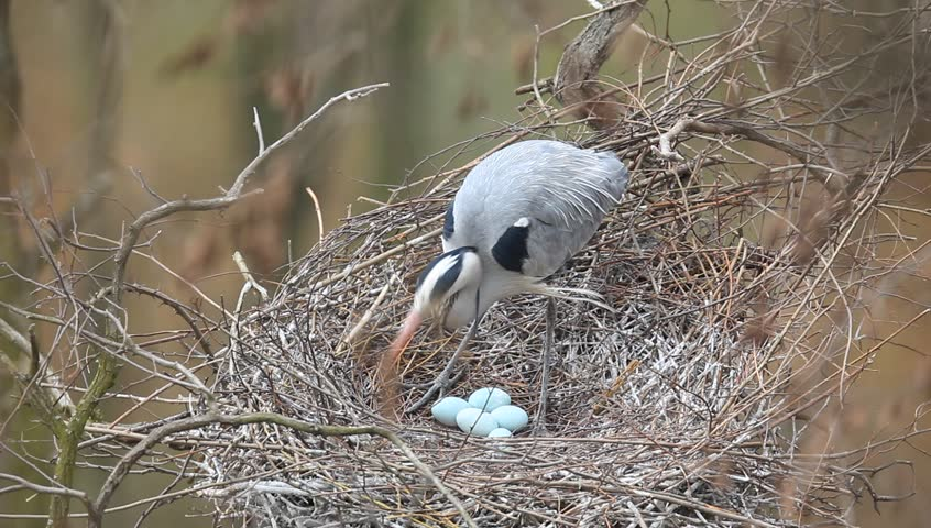 Grey heron, Ardea cinerea, in nest with four eggs, nesting time