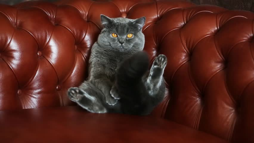 British cat on a leather sofa Chesterfield #11274149