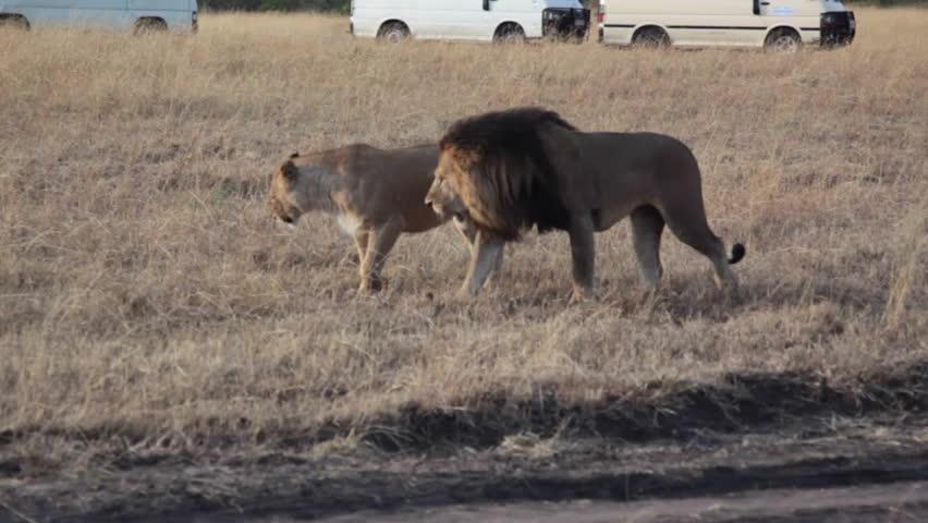 Lions mate in Masai Mara safari, Kenya, medium shot