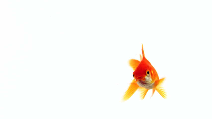 The gold fish swims in the water. On a white background | Shutterstock HD Video #11281583