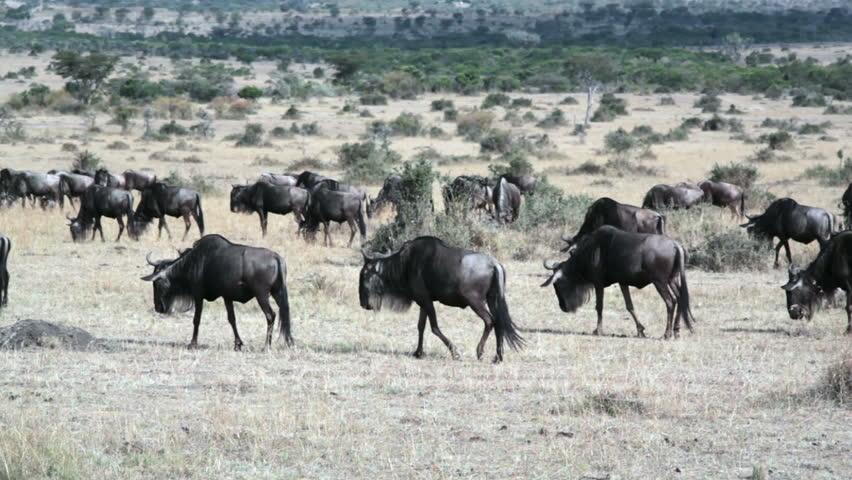 Wildebeests migrate at Masai Mara, Kenya safari, long shot - HD stock footage clip