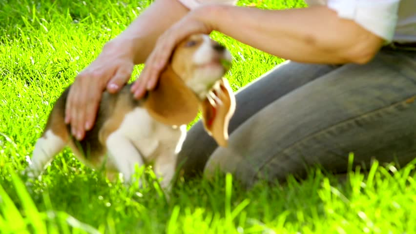 Happy beagle dogs in Park. Beagle dogs running across the grass summer day summer park. playing on the grass. Slow motion. Outdoors portrait. Slow motion