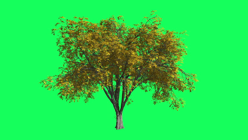 American Elm Chromakey, Tree, Swaying Tree, Branches, Swaying Branches, Green Leaves, Trunk, Chroma Key, Alfa, green background, outdoors, studio, daytime, breeze, wind, sunny - 4K stock footage clip