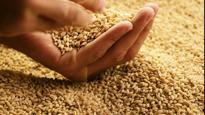 Grain in the hands. Man hands holding barley grain.