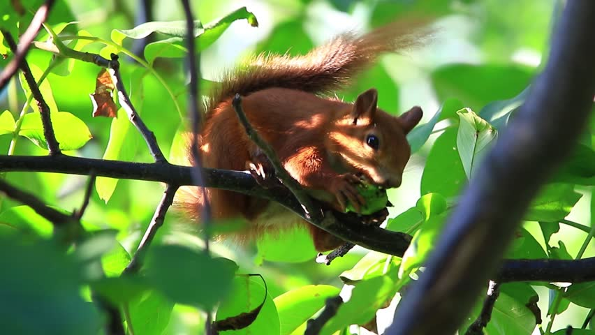 squirrel eats nuts on a tree in the wood - HD stock video clip