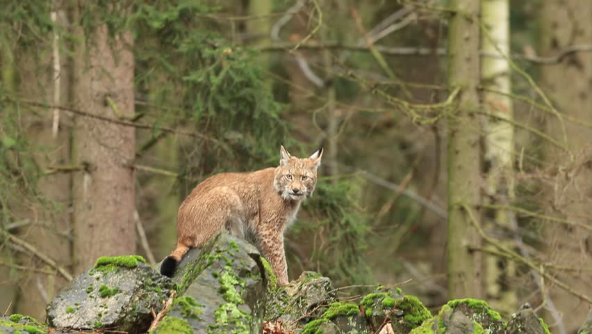 Walking eurasian wild cat Lynx on green moss stone in green forest in background