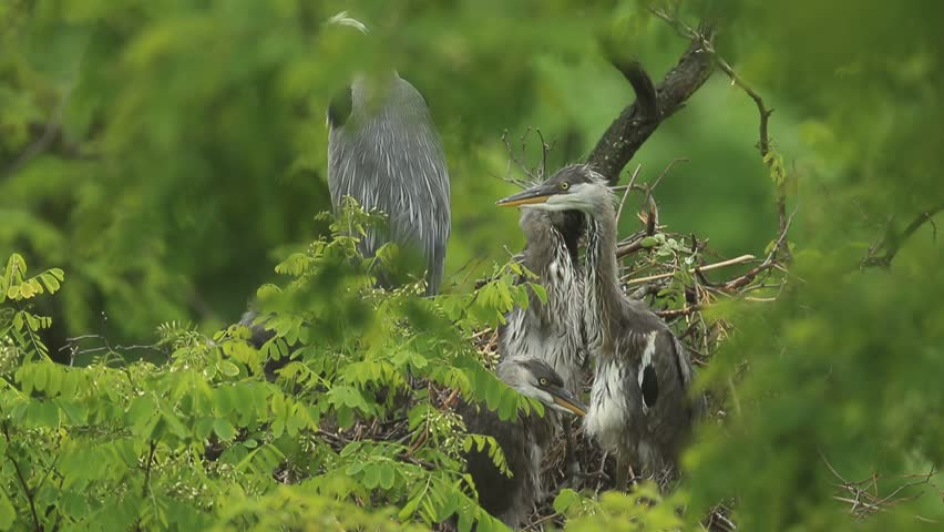 Grey heron sitting in the green branch, with hidden youngs